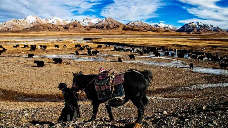 Amdo nomad with horse and yaks