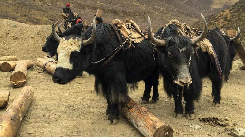Yaks in Kham, Eastern Tibet.