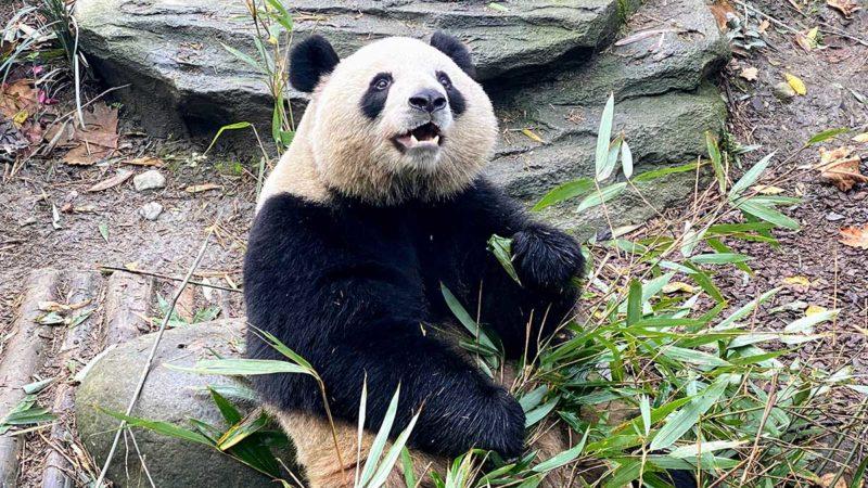 Panda at Chengdu Panda Preserve